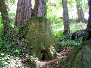 #1: The redwood grove (with the 'Confluence Stump') that contains the confluence point