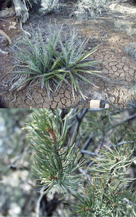 a yucca plant and the two-needle configuration of pinion pines