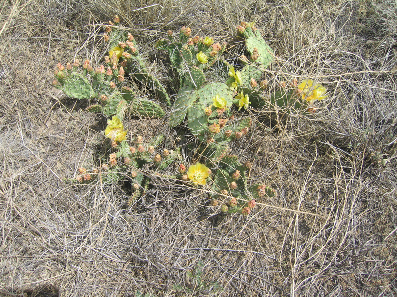 Ground cover - a flowering prickly pear cactus.