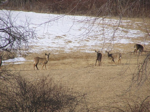 Herd of grazing deer nearby