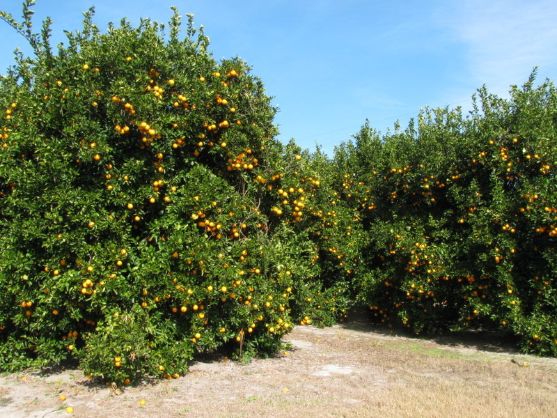 Nearby orange groves