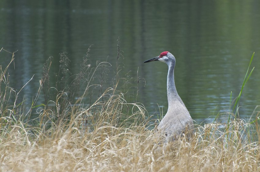 One of a pair of sandhill cranes, seen beside a small pond, en route to the confluence point