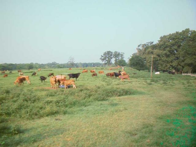 Cows guarding the tri-state confluence.