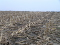 #8: Corn stalks dominate the landscape in this view to the east-northeast from the confluence.