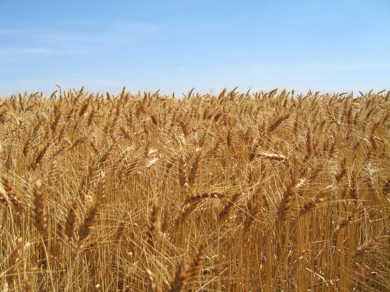 Confluence is hidden within the wheat!