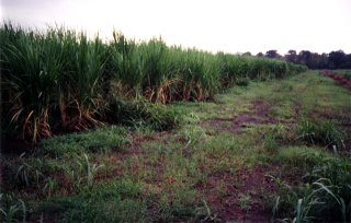 #1: The edge of a sugar cane field.