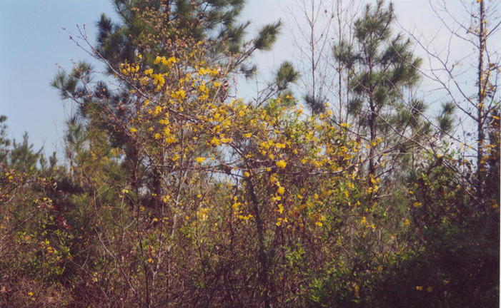 Carolina jessamine (jasmine) across the road from the abandoned home place.