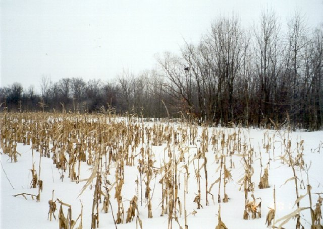 View East - Cornfield and trees