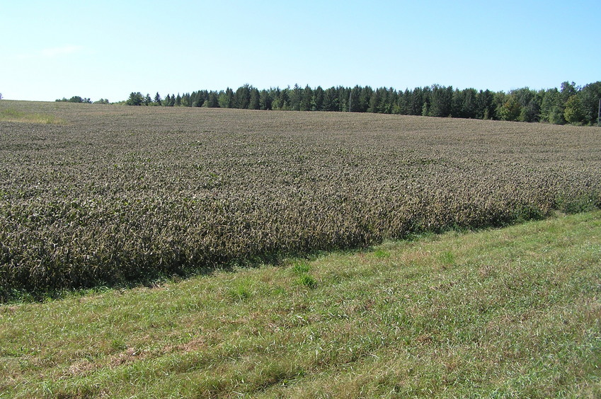 Site of 45 North 94 West, about 8 meters into the soybean field in the mid-distance of this photograph.