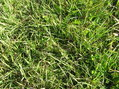 #4: Ground-cover at the confluence:  Planted field grasses