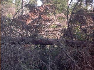 #1: Downed trees north of confluence
