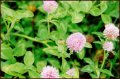 #5: Honey Bee on Red Clover surrounding 39N 94W