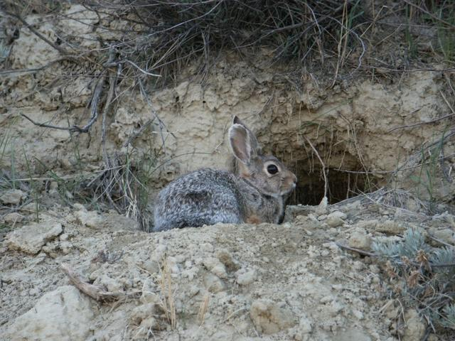 Rabbit in ravine near confluence
