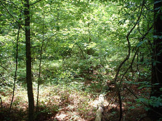 #1: This is the view south right at the confluence, into the woods.