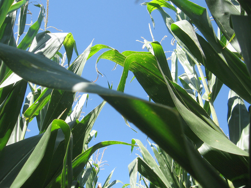 This is TALL corn (looking up).