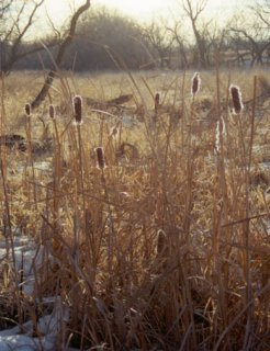 #1: Cattails in early morning light