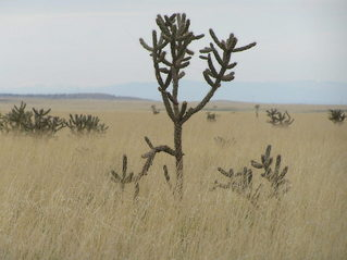 #1: View to the north showing cholla cactus from 35 North 105 West in New Mexico.