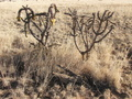#7: Cactus with yellow seed pods and dead cactus branches on the ground