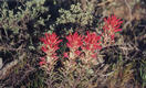 #4: Indian paintbrush near the confluence point.