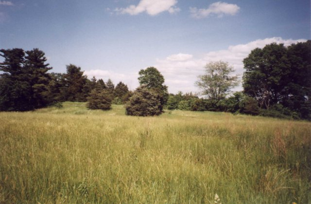 Conifer trees at the edge of a field