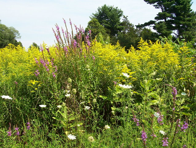 Purple loosestrife, goldenrod and Queen Anne's lace near the confluence