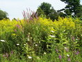 #7: Purple loosestrife, goldenrod and Queen Anne's lace near the confluence