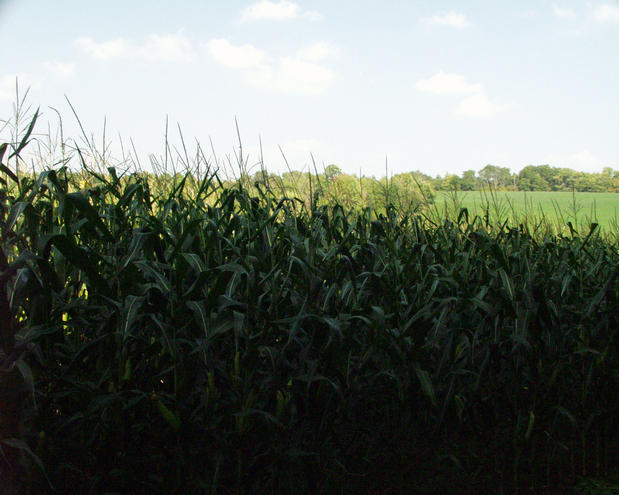 looking north through the corn field