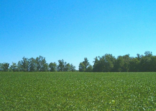 Soybean field under a blue sky