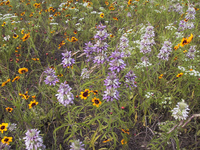 Wildflowers along US 70 near Millerton, OK