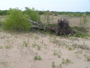 #1: Site of the confluence of 34 North 98 West, looking north.  The confluence point is 1 meter in front of the tree log.