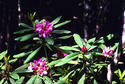 #5: Some of the Rhododendron blossoms