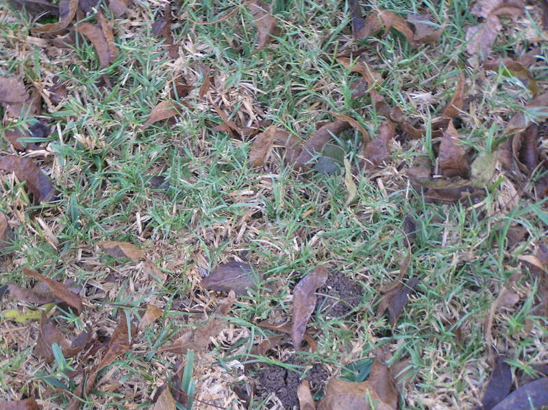 Ground cover at the confluence--grass planted by the landowner, sprinkled with fallen leaves.