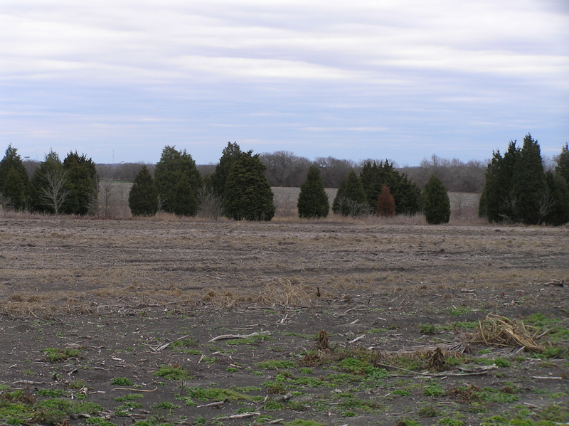 View of the junipers, the most prominent feature of 31 North 97 West, looking northeast.