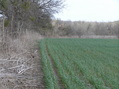 #7: Alfalfa field edge, approaching the confluence from the west, looking east-northeast with about 200 meters to go.