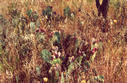 #3: Prickly pear (Opuntia) cactus, with nearly-ripe fruit