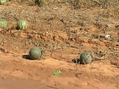#7: Some gourds or melons in the groundcover at the confluence point.