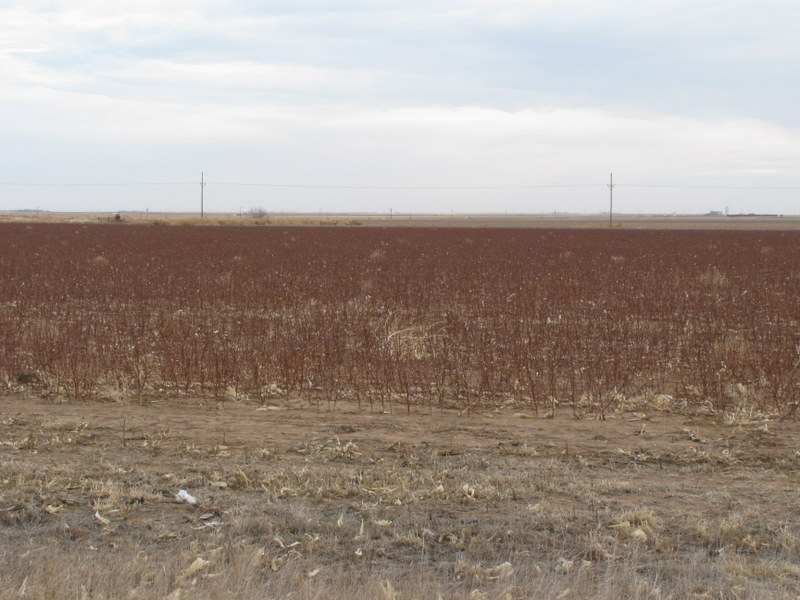 Harvested cotton field near the confluence