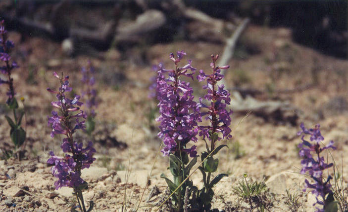 Beard-tongue, a penstemon.  This was near Eagle Canyon.