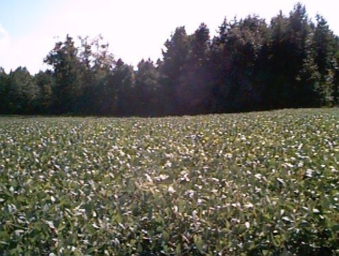 Cotton field by the second house (looking West).