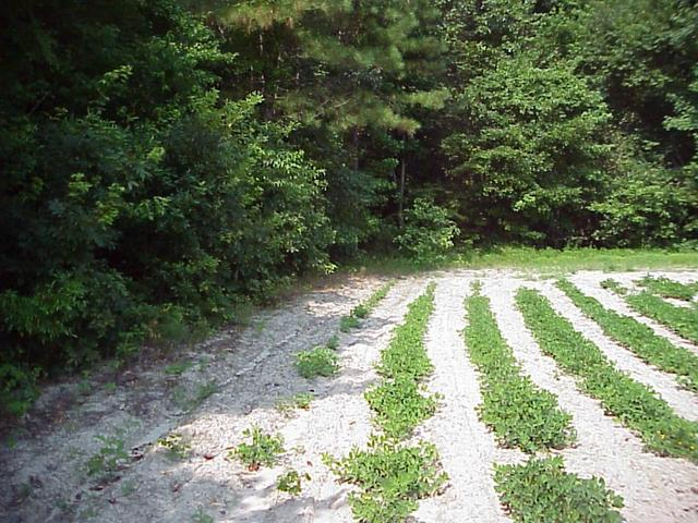 Nearing the edge of the peanut field, the departure point for hiking into the forest.
