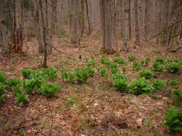 Wild Vermont lettuce patch? Maybe!