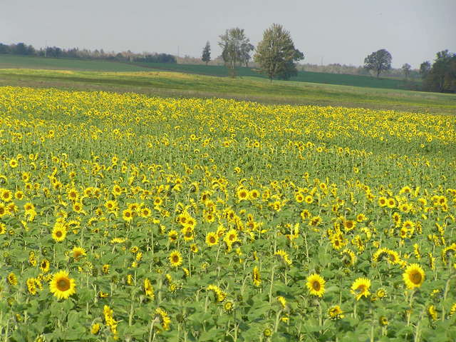 Sunflower field 1 kilometer north-northeast of the confluence.