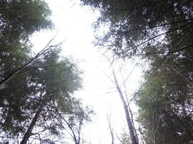 Looking up between the 30 m tall trees