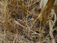 #4: Grass, dirt, and corn stalks at 45 North 92 West.