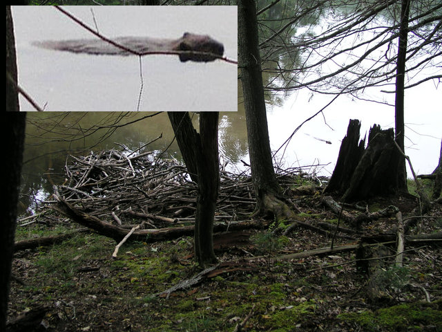 The insert shows an enlarged view of the barely visible beaver seen next to his lodge along the Lake Sherwood Trail on the way to 38N 80W.