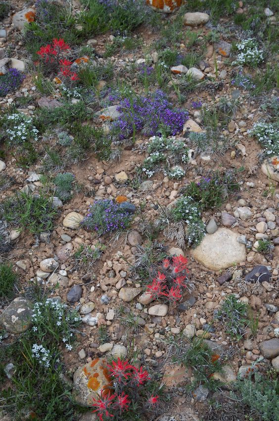 Some pretty spring alpine wildflowers near the confluence point