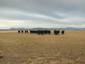 #10: Black Angus cows west of Ayers Road