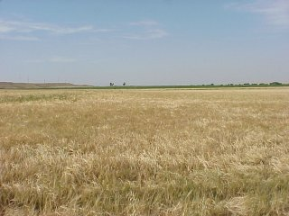 #1: Confluence is 52 meters into this barley field.