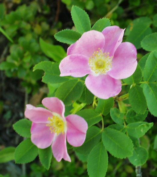 wild roses found near the confluence