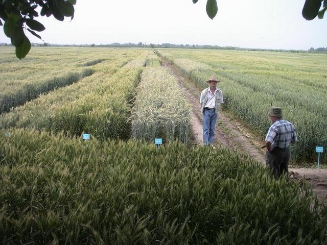 Wheat breeding